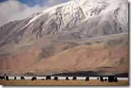 Les yaks de Karakul